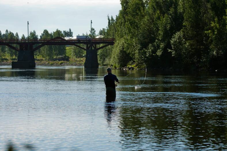 Man som står i Skellefteälven och fiskar vid Lejonströmsbron