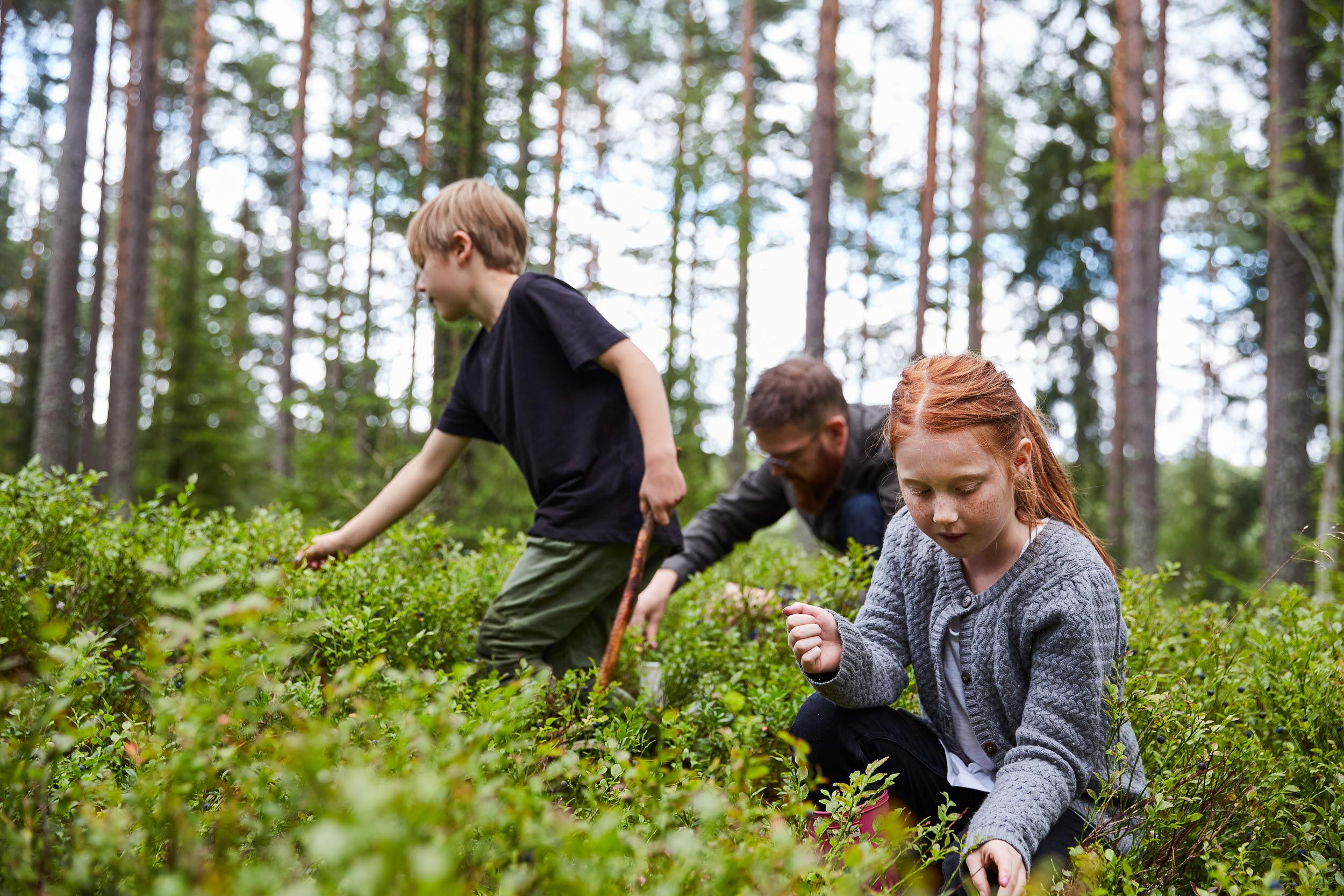 Familj som plockar blåbär